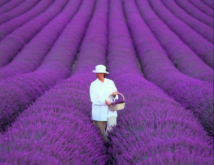 Lavender Fields In Provence Of France
